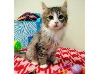 Adopt A Pet Today: Lovelace, a Long-Haired Tabby